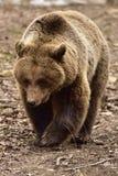 Europäischer Braunbär in Rumänien Stockbilder