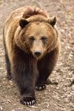 Europäischer Braunbär in Rumänien Stockbild