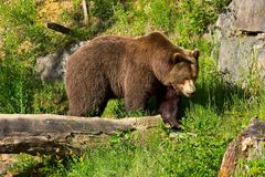 Europäischer brauner Bär Stockbild
