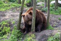 Europäischer brauner Bär Lizenzfreie Stockfotografie