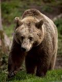 Europäischer Brown-Bär stockbilder