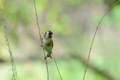 Europäischer Dompfaff mit trockenem Gras für ein Nest Stockfoto
