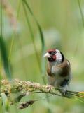 Europäischer Dompfaff sucht die Samen unter Sommergräsern Lizenzfreies Stockbild