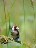 Europäischer Dompfaff sucht die Samen unter Sommergräsern Lizenzfreies Stockfoto
