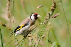 Europäischer Dompfaff sucht die Samen unter Sommergräsern Stockfoto