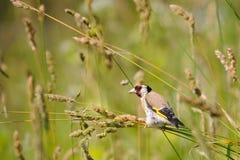 Europäischer Dompfaff sucht die Samen unter Sommergräsern Lizenzfreie Stockbilder