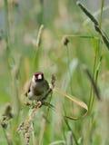 Europäischer Dompfaff sucht die Samen unter Sommergräsern Stockbilder