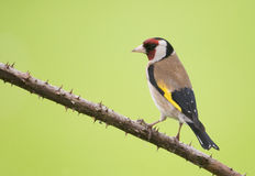 Europäischer Goldfinch (Carduelis Carduelis) Lizenzfreie Stockfotografie