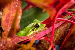 Europäischer grüner Baumfrosch, der für Opfer in der natürlichen Umwelt lauert Stockbilder