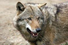Europäischer grauer Wolf Stockfotos