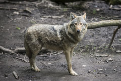 Europäischer grauer Wolf Lizenzfreie Stockfotografie