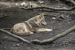 Europäischer grauer Wolf Lizenzfreie Stockfotos