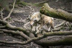 Europäischer grauer Wolf Stockfotografie
