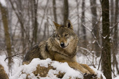 Europäischer grauer Wolf (Canis Lupus Lupus) Lizenzfreie Stockfotos