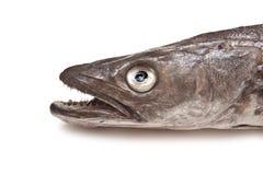 Europäischer Hechtdorsch-Fisch-Kopf stockfotografie