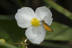 Europäischer Kapitänschmetterling, der auf einer weißen GratReed-Blume nectaring ist Lizenzfreies Stockfoto