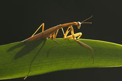 Europäischer Mantis (Mantis religiosa) Stockfoto