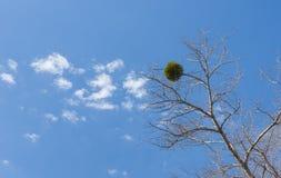 Europäischer Mistelzweig befestigt zum Baum Stockfoto