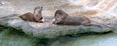 Europäischer Otter 1 Lizenzfreies Stockfoto