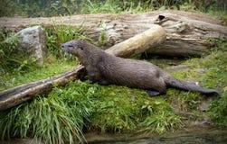 Europäischer Otter Stockfotos