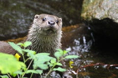 Europäischer Otter Lizenzfreie Stockfotografie