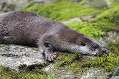 Europäischer Otter Lizenzfreies Stockfoto