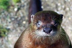Europäischer Otter Lizenzfreie Stockfotos
