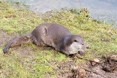 Europäischer Otter Lizenzfreies Stockbild