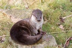 Europäischer Otter Stockfoto