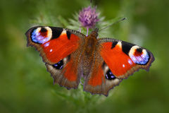 Europäischer Pfau, Aglais io, roter Schmetterling mit den Augen, die auf der rosa Blume in der Natur sitzen Sommerszene von der W Lizenzfreie Stockfotos
