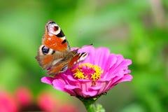 Europäischer Pfau, der auf Dahlienblume sitzt Stockfoto