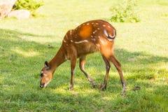 Europäischer Rehe Capreolus, der Gras isst Stockbild