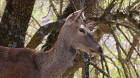 Europäischer Rehmann in Naturreservat MonfragÃ-¼ e, Spanien stock video