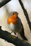 Europäischer Robin lizenzfreies stockbild
