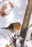 Europäischer Robin (Erithacus rubecula) Lizenzfreies Stockfoto