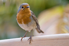 Europäischer Robin (Erithacus rubecula) Stockfoto