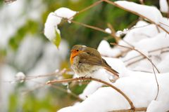 Europäischer Robin (Erithacus rubecula) Lizenzfreie Stockbilder