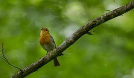 Europäischer Rotkehlchen Erithacus rubecula Gesang Stockbild