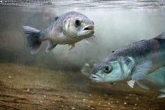 Europäischer Seebarsch (Dicentrarchus labrax) Stockbild