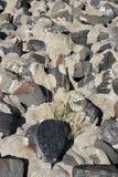 Europäischer Strandhafer wachsen zwischen Steinen Stockbilder