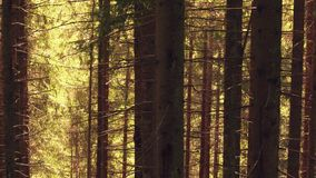Europäischer Wald des Tannenbaums im Sommer stock video