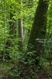 Europäischer Wald mit Lindenbaum im Vordergrund Lizenzfreies Stockbild