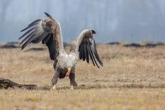 Europäischer weißer angebundener Adler Stockfotografie