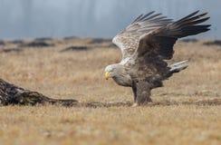Europäischer weißer angebundener Adler Lizenzfreies Stockfoto