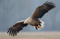 Europäischer weißer angebundener Adler stockfoto