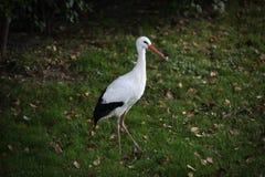 Europäischer weißer Storch Lizenzfreie Stockfotos