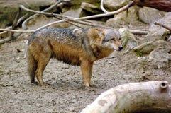 Europäischer Wolf Stockfotografie