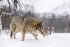 Europäischer Wolf Lizenzfreies Stockfoto