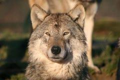 europäischer Wolf Stockbild