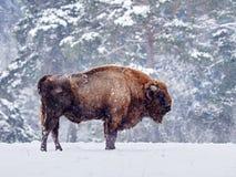 Europäisches Bison Bison bonasus im natürlichen Lebensraum Lizenzfreie Stockbilder
